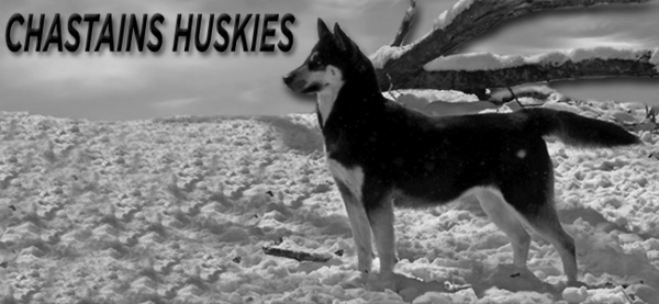 Chastains' Siberian Huskies Web Site